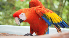 Scarlet Macaw Parrot With Red Plumage And Colorful Wings
