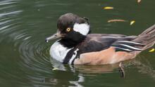 Male Bufflehead Duck Floating In Water
