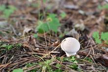 Lycoperdon Perlatum In A Forest Undergrowth