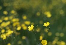 Petit Bouton D'or En Floraison Durant L'été