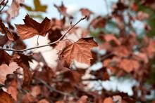 Autumn Plane Tree Leaves