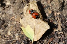 Ladybirds Mating On A Dead Leaf