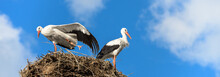 Storks On Nest On Blue Sky Background, Panoramic View Of Couple Of White Storks