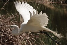 Great White Heron Egret Flying With Stick For The Nest