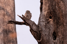 Collared Owlet (Glaucidium Brodiei) Resting On A Tree Branch In Botswana, Africa