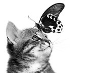 Kitten And Butterfly On A White Background