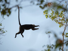 Lutung Flying