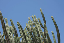 Low Angle View Of A Group Of Very Tall Cacti Under Under Blue Sky In Spring