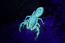 Bark Scorpion Fluorescing Under UV Light On Tropical Island