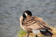 Sleepy Goose, William Hawrelak Park, Edmonton, Alberta