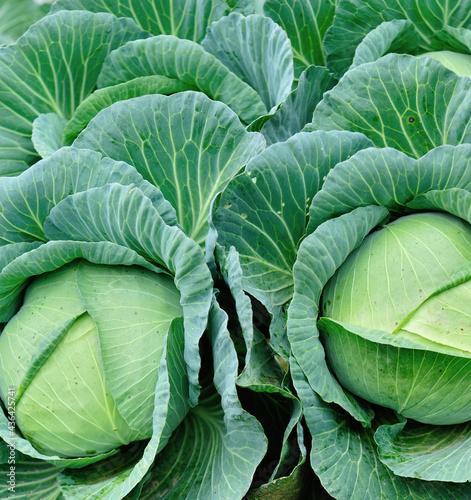 Vászonkép Green cabbage in growth at vegetable garden