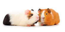 Guinea Pigs Isolated.
