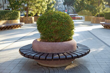 Round Seat In The Park . Fragrant Olive Flowers , Oleaceae Evergreen Tree . Spherical Thuya . Benches On Sidewalk .