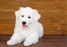 White Swiss Shepherd Puppy Lying On Dark Wooden Background With Tongue Hanging Out