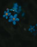 Fototapeta Kwiaty - kwiaty niezapominajki w lesie
