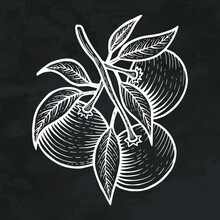 Mandarin Orange Citrus Silhouette Hand Drawn Sketch Retro Style Vintage Vector Illustration Graphic