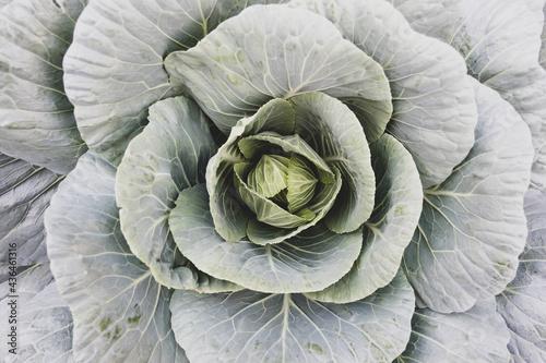 Papel de parede Organic cabbage