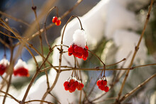 Juicy Red Berries Of Viburnum Covered With Snow In Winter. Beautiful Scenic Winter Background