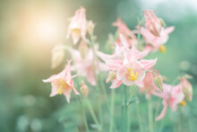 Pink Aquilegia Flowers In Sunlight On A Blurred Green Background. Beautiful Summer Art Photo Of Nature. Selective Soft Focus.