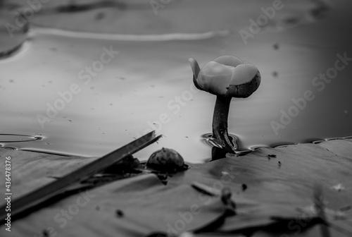 lilia wodna na Raduni
