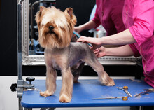 Yorkshire Terrier Gets A Haircut From A Groomer