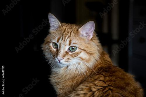 Obraz na plátně gato rubio, atigrado, ojos de gato