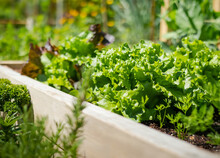 Mature Lettuce Plants In Raised Garden Bed, Ready To Harvest. A Variety Of Beautiful Organic Large Green Curled Salad Heads In Daylight. Selective Focus With Defocused And Abstract Veggie Rows.