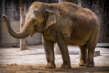 Indian Elephant Throws Sand On Himself