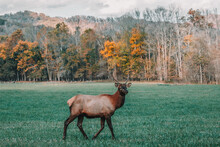 One Manitoban Elk Buck With Growing Antlers Struts On The Open Meadow Grasses Of Great Smoky Mountain National Park In Front Of Golden Fall Trees And The Appalachian Mountains, North Carolina, USA.