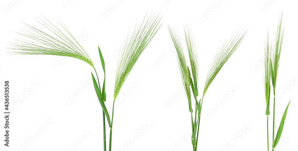 Fotografie, Obraz Set of barley green spikelets isolated on a white background