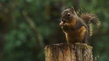 Squirrel (Sciurus Niger) Sitting On Branch Isolated On Green.