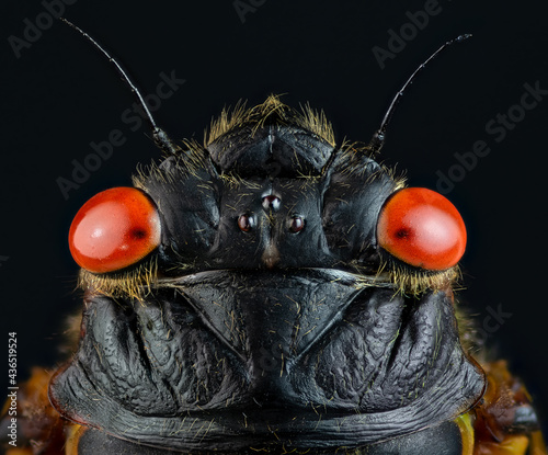 Fényképezés Macro of head of adult periodic (17-year) cicada (Magicicada sp