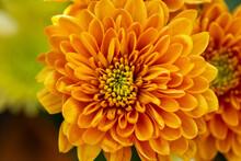 Orange And Yellow Chrysanthemum Flowers As Background