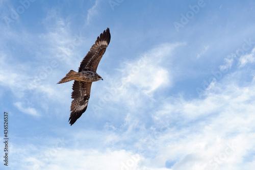 Photo Black kite - Milvus migrans
