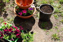 Replanting Flowers. Selective Focus Flowers In Large Pot Next To Bucket Of Soil. Gardening Concept With Copy Space.