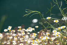 Field Daisies In A Field In Spring In Ukraine, Wildflowers, Floral