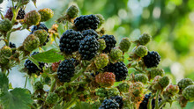 Top Of The Bush. A Bunch Of Ripe Blackberries On Top Of A Bush Against A Blurred Background.