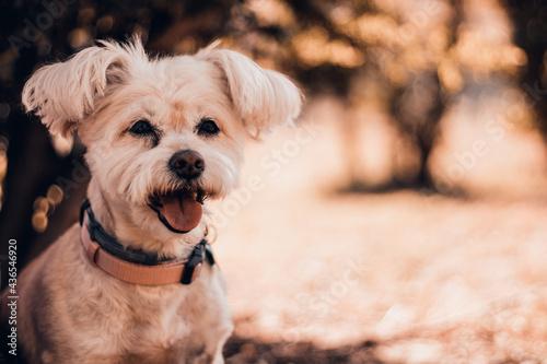 Obraz na płótnie perro blanco en el campo mirando al frente