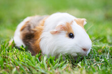 A Guinea Pig Or Cavy Sitting In The Green Grass. Guinea Pig Walking On The Lawn