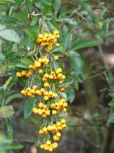 Yellow Berries Of A Scarlet Firethorn On The Shrub