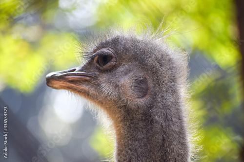 Closeup of an ostrich under the sunlight with a blurry background Fototapeta