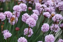 Pale Purple Armeria Sea Thrift In Bloom
