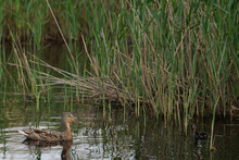 Wild Duck With Duckling On Lake Beside A Green Reeds