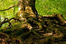 Strong And Exposed Roots Of An Old Gnarled Tree. In The Dense Forest With Play Of Light And Shadow.