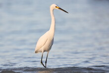 Snowy Egret, Egretta Thula, Saint Andrews Sate Park, Florida, USA