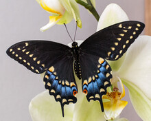 Black Swallowtail On Orchid