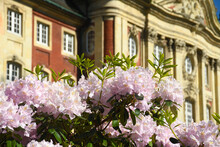 Rhododendron Am Münster Schloss