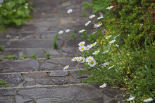 Wild Daisies Growing Along A Stone Path
