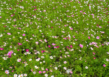 Pink Cosmos Flowers In The Field In Spring