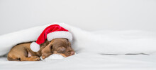 Cute Dachshund Puppy Wearing Red Santa's Hat Sleeps Under Warm Blanket On A Bed At Home. Empty Space For Text